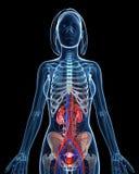 Sistema urinario esquelético femenino con los riñones abiertos Foto de archivo libre de regalías