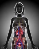 Sistema urinario femenino en lazo gris de la radiografía Foto de archivo libre de regalías