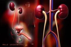 Sistema urinario humano Imágenes de archivo libres de regalías