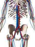 Sistema vascolare Fotografie Stock