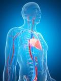 Sistema vascolare umano Immagini Stock
