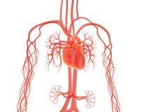 Sistema vascular Fotografía de archivo libre de regalías