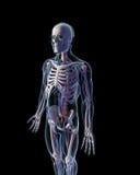 Sistema vascular Imagem de Stock Royalty Free