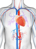 Sistema vascular Fotografia de Stock