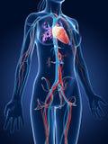 Sistema vascular femenino Imagen de archivo libre de regalías