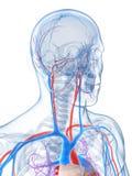 Sistema vascular humano Imagen de archivo libre de regalías