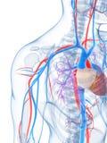 Sistema vascular humano Imagen de archivo