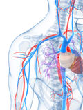 Sistema vascular humano Imagem de Stock