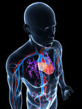 Sistema vascular humano Fotos de Stock Royalty Free