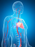 Sistema vascular humano Imagens de Stock
