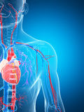 Sistema vascular humano Fotos de Stock