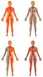 Sistema vascular humano Imágenes de archivo libres de regalías