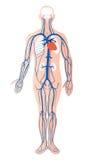 Sistema venoso umano   illustrazione di stock