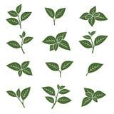 Sistema verde de la colección de la hoja de té Vector Imagen de archivo libre de regalías