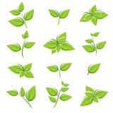 Sistema verde de la colección de la hoja de té Vector ilustración del vector