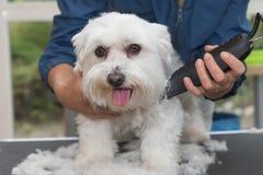 Sistemando il cane maltese dal rasoio elettrico Fotografie Stock