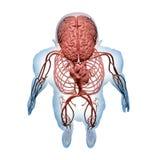 Sistemas nerviosos y circulatorios centrales ilustración del vector