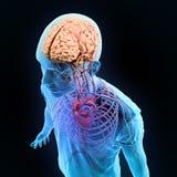 Sistemas nerviosos y circulatorios del ejemplo humano de la anatomía - stock de ilustración