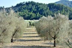 Sistemi con di olivo mediterranei in Puglia, Italia Immagini Stock Libere da Diritti