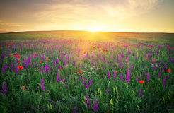 Sistemi con erba, i fiori viola ed i papaveri rossi Fotografie Stock Libere da Diritti