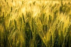 Sistemi con grano non maturo al tramonto, primo piano Fotografia Stock Libera da Diritti