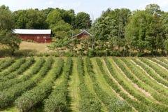Sistemi con i cespugli del mirtillo e una fattoria nel Michigan, U.S.A. Immagine Stock Libera da Diritti