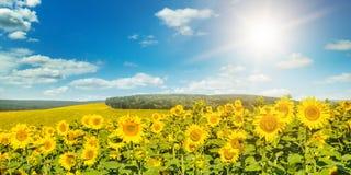 Sistemi con i girasoli ed il sole di fioritura sul cielo nuvoloso Fotografia Stock