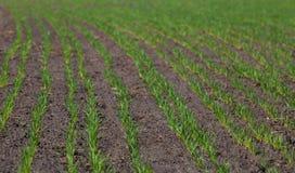 Sistemi con i raccolti germogliati in una fila, grano basso dell'inverno Fotografie Stock Libere da Diritti