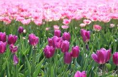 Sistemi con i tulipani di fioritura nel ploder orientale del nord, Paesi Bassi Fotografia Stock Libera da Diritti
