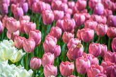 Sistemi con i tulipani rosa alla luce solare della molla di primo mattino Fotografia Stock