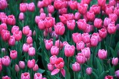 Sistemi con i tulipani rosa alla luce solare della molla di primo mattino Fotografie Stock Libere da Diritti