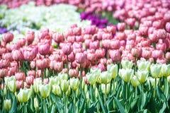 Sistemi con i tulipani rosa alla luce solare della molla di primo mattino Fotografia Stock Libera da Diritti