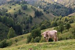 Sistemi con la mucca sulla cima delle montagne Fotografie Stock
