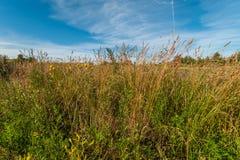 sistemi con un'alta erba asciutta nella priorità alta sotto un cielo blu Fotografie Stock