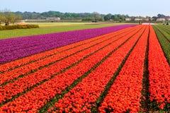 Sistemi i tulipani Fotografia Stock