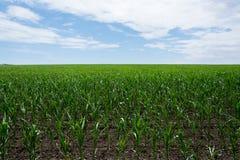 Sistemi il verde con cereale crescente su un fondo di cielo blu con le nuvole agricoltura Immagini Stock Libere da Diritti