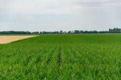 Sistemi il verde con cereale crescente su un fondo di cielo blu con le nuvole agricoltura Immagine Stock Libera da Diritti