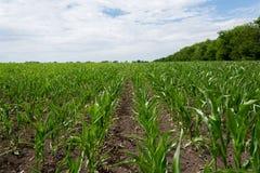 Sistemi il verde con cereale crescente su un fondo di cielo blu con le nuvole agricoltura Immagine Stock