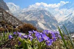 Sistemi, prato dei fiori viola con Rocky Mountains nel fondo Primavera nel Nepal, parco nazionale di Annapurna Immagine Stock