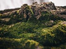 Sistemi una corteccia di un albero coperto di muschio Fotografia Stock Libera da Diritti