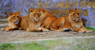 Sisters & brothers lions Royalty Free Stock Photo