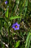 Sisyrinchium angustifolium, commonly known as narrow-leaf blue-eyed-grass. In Bruce Peninsula Canada. It is a herbaceous perennial growing from rhizomes, native stock images