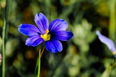 Sisyrinchium angustifolium pojedynczego kwiatu Selekcyjna ostrość Obraz Royalty Free