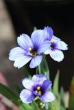 Sisyrinchium  Californian Skies Royalty Free Stock Photography