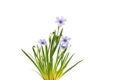 Sisyrinchium Devon Skies, blauw-Eyed Gras Stock Fotografie