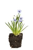 Sisyrinchium Devon Skies, herbe aux yeux bleus Image libre de droits