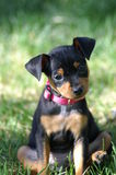Sit. Miniature pinscher puppy sitting on backside with head tilted to one side royalty free stock images