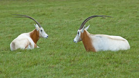 Sit down, let's talk. Two antelopes sit on the grass, talking to each other (or, looks like they are chatting). This photo can be used to show some legend like Royalty Free Stock Photos
