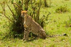 A sit-up straight cheetah. At Masai Mara, Kenya royalty free stock image