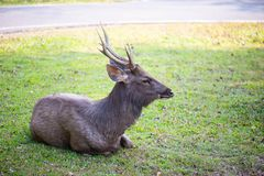 Sit Wild Deer. Wild Deer in the garden royalty free stock image